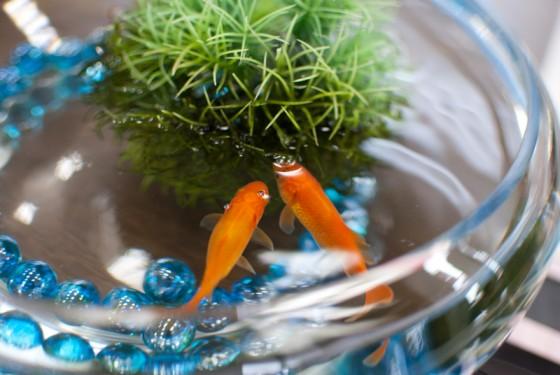 金魚鉢の金魚たち