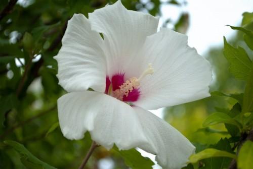 白い花アップ