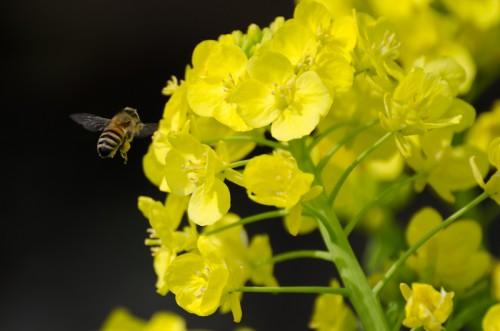 菜の花 蜂