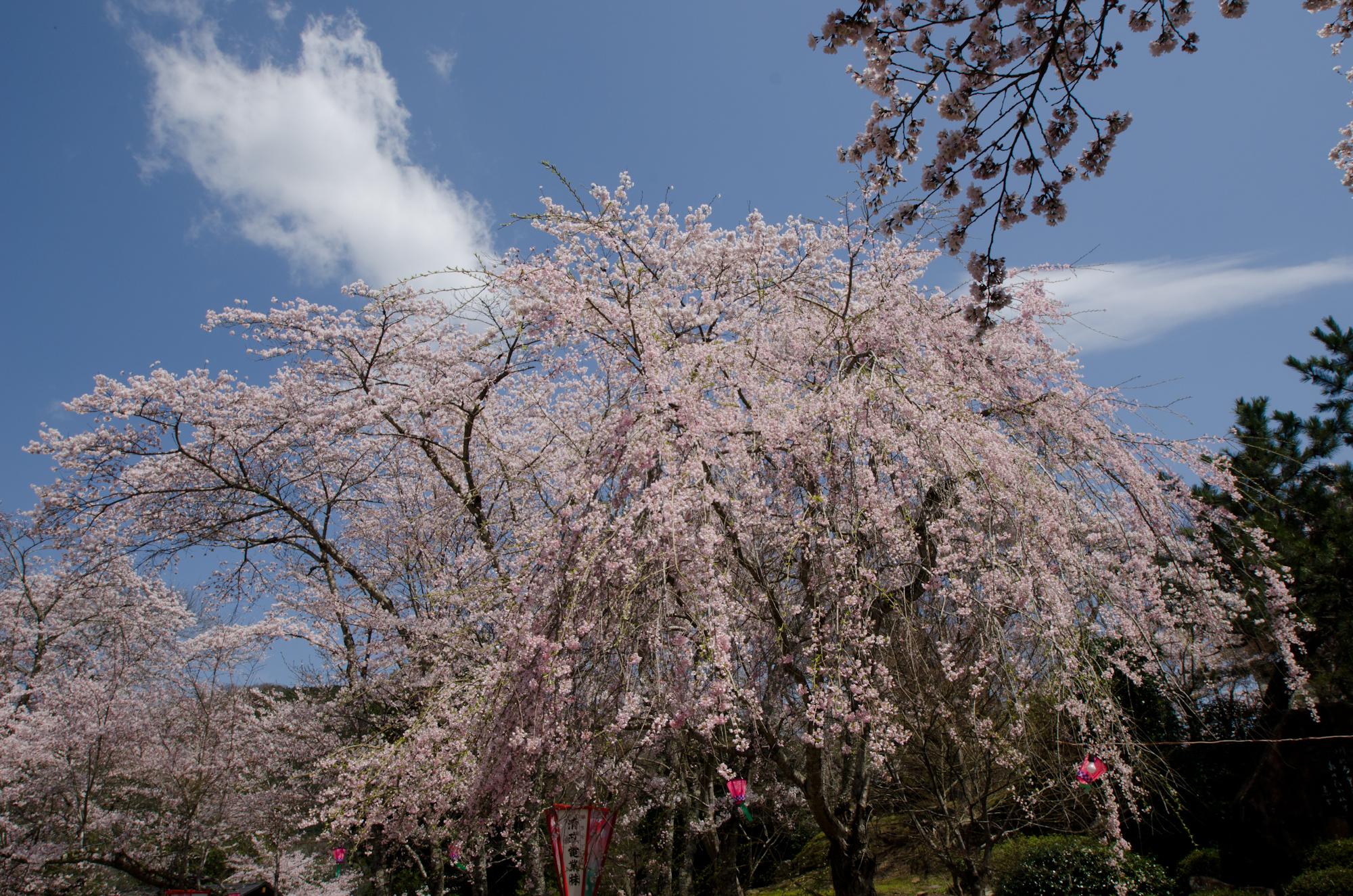 尾関山公園 枝垂れ桜